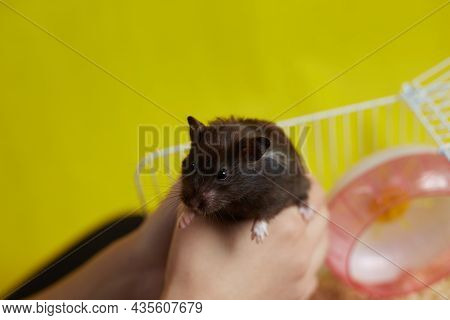 A Syrian Hamster Is In The Hands Of Its Owner Against The Background Of Its Cage.