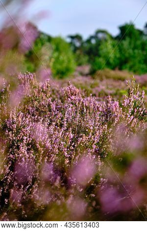 Purple Pink Heather With Selective Field Of Focus. Heathland And Forest Area Called Den Treek Hensch