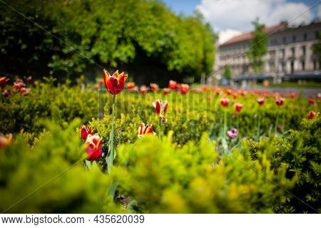 Spring In The City Colorful Scene Close Up   Tulips And Box Hedge On A Sunny Day   Red Blossoming Tu