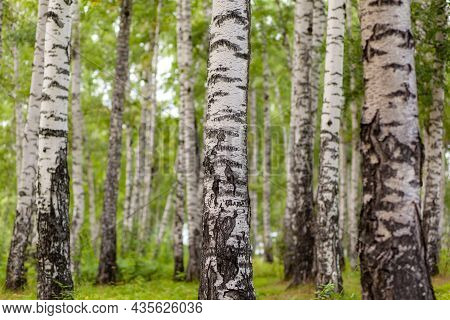 Birch Grove In Golden Sunlight On A Clear Day. Trunks With White Bark And Yellow Leaves. Natural For