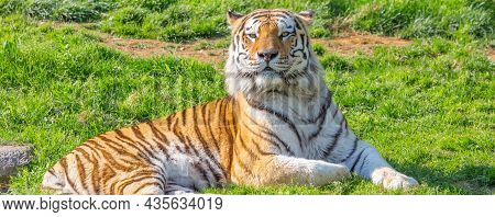 Angry Tiger In A Wildlife Zoo - One Of The Biggest Carnivore In Nature.