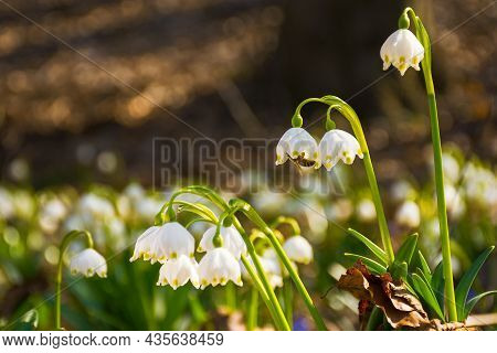Closeup Of First Flowers In Spring. Floral Background In Springtime. Beautiful White Messengers Of S