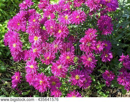 Beautiful Pink Aster Flowers, Aster Novi-belgii Carnival