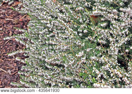 Erica Carnea, The Winter Heath, Winter-flowering Heather, Spring Heath Or Alpine Heath. Native To Mo