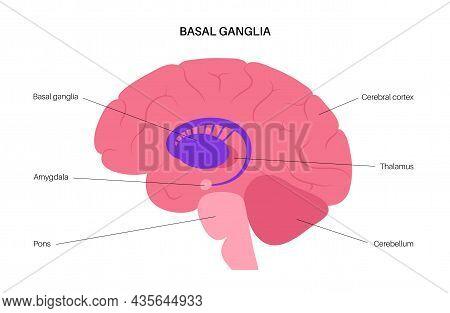 Basal Ganglia And Limbic System Concept. Human Brain Anatomy. Cerebral Cortex And Cerebellum Medical