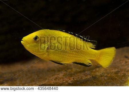 Lemon Yellow Lab, Blue Streak Hap,  Electric Yellow, Yellow Prince (labidochromis Caeruleus).