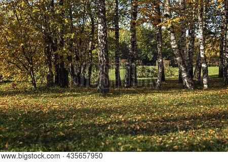 Birch Grove In An Autumn Park On A Sunny Day. Beautiful Landscape.