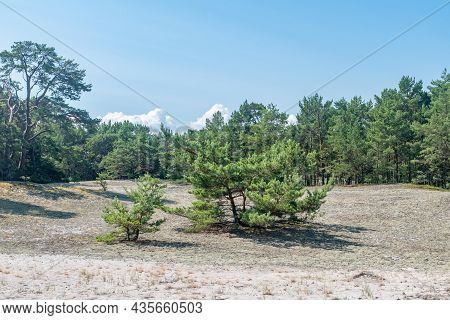 Small Trees On The Forest Glade On Hel Peninsula.