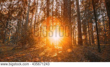 Beautiful Sunset Sunrise Sun Sunshine In Sunny Autumn Coniferous Forest. Sunlight Sunrays Sunbeams T
