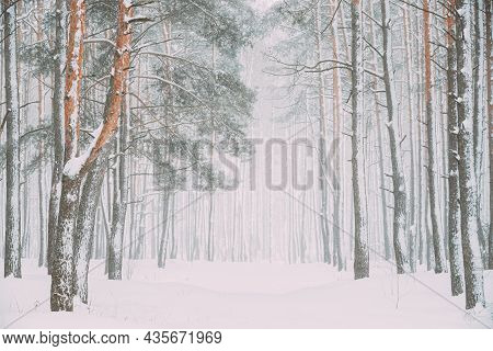 Beautiful Snowy White Forest Road In Winter Frosty Day. Snowing In Winter Frost Woods. Snowy Weather
