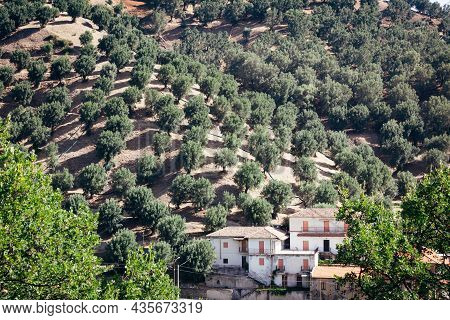 Dry Hills Of Aspromonte With Olive Grove And Rural Farmer House, Candid View