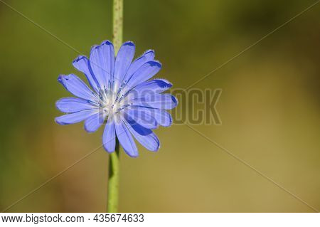 Chicory. Beautiful Meadow Flower. Blue Common Chicory Flower Isolated On Light Blurred Natural Backg