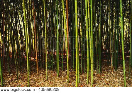 Bamboo Forest. Wallpaper With Green And Brown Bamboo Growing In Nature. Green Bamboo Grove