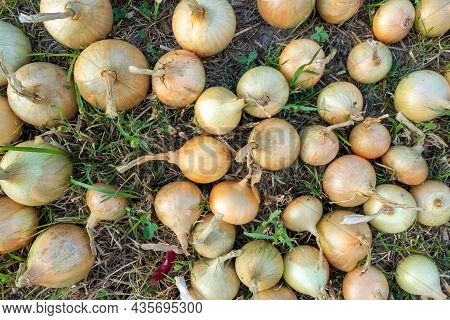 Close-up Of Onion Bulbs Laid Out On The Grass In The Setting Sun In Summer. Top View, Flat Lay