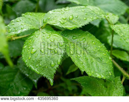 Close-up Of Green Foliage Strewn With Drops Of Water After Rain. Green Natural Background.