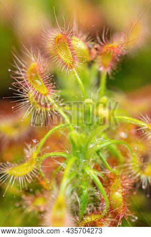 Carnivorous Plant Drosera Intermedia (spoon-leaf Sundew, Temperate Sundew) With Its Trapping Mechani