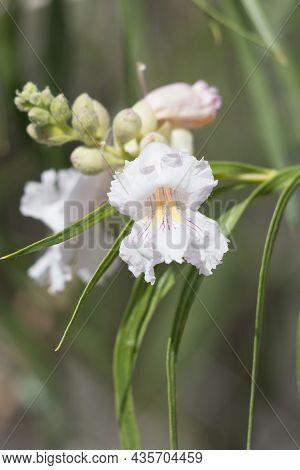 White Raceme Inflorescence Of Desert Willow, Chilopsis Linearis, Boraginaceae, Native In Big Morongo