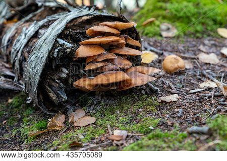 Honey Fungus Mushrooms Growing In The Forest On A Fallen Birch Tree, Taken In Grand Portage State Pa