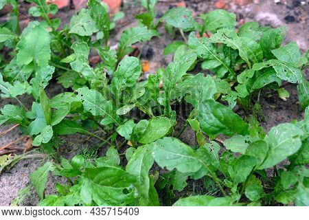 Arugula Grows Outdoors. Green Leaves Of Arugula Eaten By Pests. Closeup Leaves With Holes From Cater