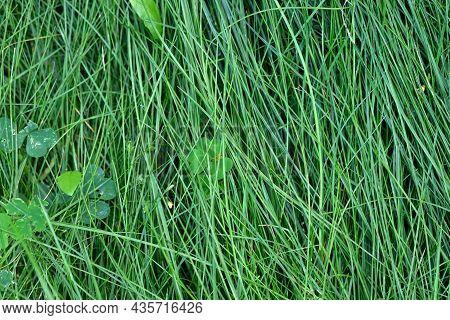 Long Lawn Grass Close-up. Natural Green Background. Spring Season. Summer Nature. Grass Texture, Gre