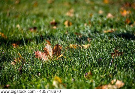 Bright Autumn Maple Leaf On Green Grass Background, Selective Focus, Focus On The Leaf, Closeup