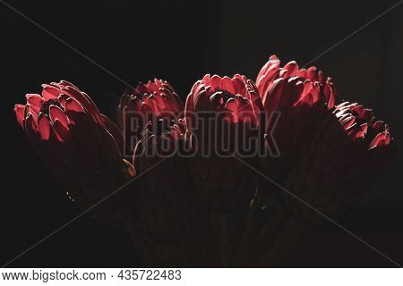 Vase Of Fresh Cut Pink King Protea Flowers In Backlight. Close-up.
