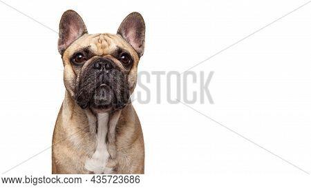 French Bulldog Shot Isolated Against White Background. Studio Shot Of The Dog.