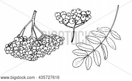 A Bunch Of Berries And A Rowan Leaf. A Sketch-style Set Of Round Rowan Berries And A Leaf, Isolated