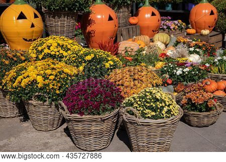 Variety Of Potted Colorful Chrysanthemum Plants Outdoor Of The Flower Garden Shop In October.