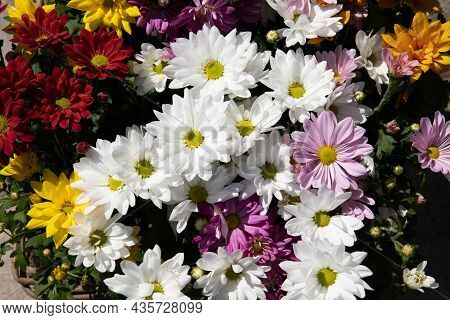 Different Colors Chrysanthemum Flowers At The Greek Flower Garden Shop In October. Bright Autumn Flo