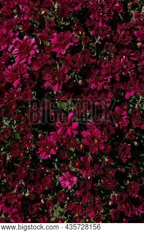 Burgundy Color Chrysanthemum Flowers. Floral Background. Top View.