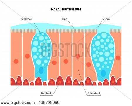 Nasal Epithelium Anatomical Poster. Human Respiratory System Concept. Mucus, Goblet, Ciliated And Ba