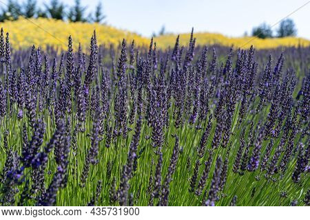 Mix Of Yellow And Purple Lavender Flowers In A Field
