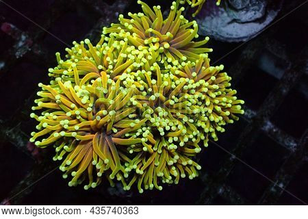 Golden Torch Coral Rare And Expensive - Euphyllia Glabrescens