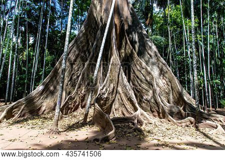 The Image Of The Largest And Highest Giant Tree  In Ban Sanam Of Uthai Thani Province, Thailand, Nat