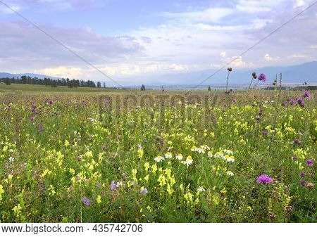 Bright Meadow Flowers Under The Blue Evening Sky Surrounded By The Altai Mountains. Siberia, Russia