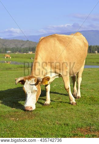 Portrait Of A Pet Grazing On A Sunny Meadow In The Altai Mountains. Siberia. Russia