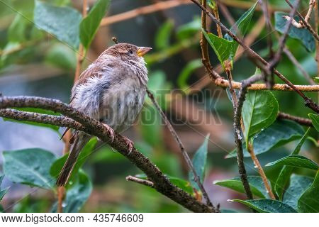 Sparrow Sitting On A Green Birch Branch In The Sunset Light. Sparrow With Playful Poise On Branch Of
