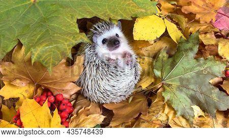 Little Hedgehog On Fallen Autumn Leaves Background