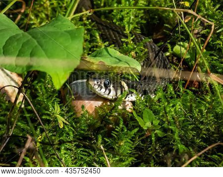 Close Up Shot Of Black Grass Snake (natrix Natrix) In The Forest Among Green Grass And Moss In Sunli