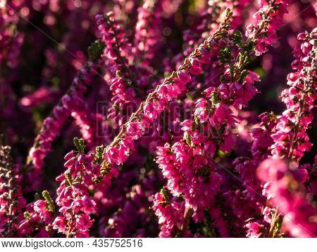 Macro Of Beautiful Reddish - Purple Flowers Of Calluna Vulgaris 'carmen' In Bright Sunlight In Autum