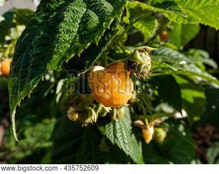 Macro Shot Of Sweet, Ripe Golden - Yellow Raspberry Fruit Growing On Green Raspberry Plant (rubus Id