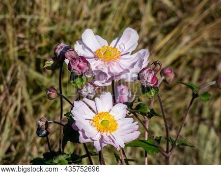 Beautiful And Attractive, Clear Light Pink Flowers With Relatively Unruly Narrow Petals And Yellow C