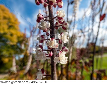 Macro Shot Of Bugbane (cimicifuga Simplex) 'atropurpurea' Blooming With Dense Spikes Of Small, Fragr