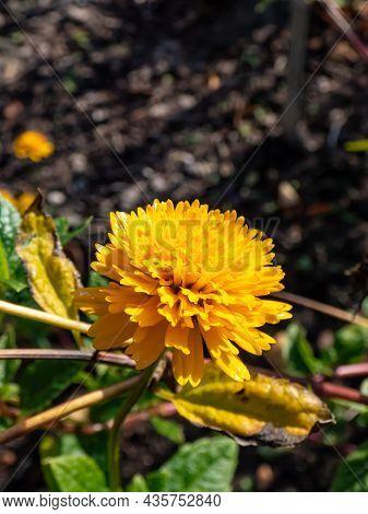 Close-up Of False Sunflower (heliopsis Helianthoides) 'asahi' With Large Golden-yellow Fully Double