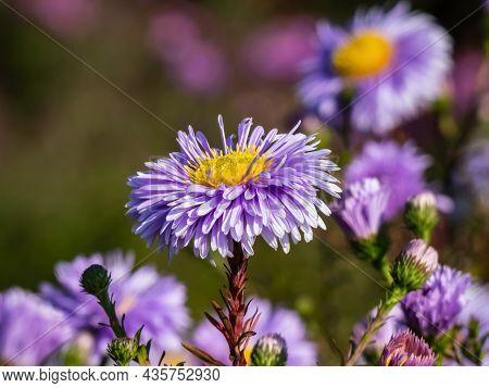 Beautiful Single Large, Powder Puff Blue Daisy-like Flower With Yellow Eyes Michaelmas Daisy Or New