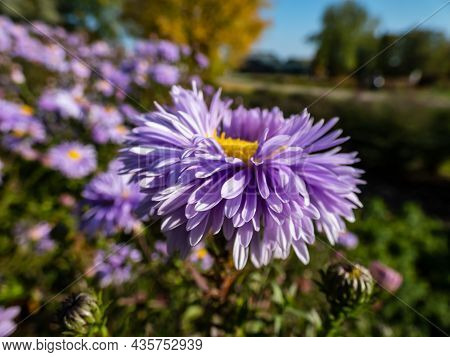 Macro Shot Of Petals Of Large, Powder Puff Blue Daisy-like Flower With Yellow Eyes New York Aster (a