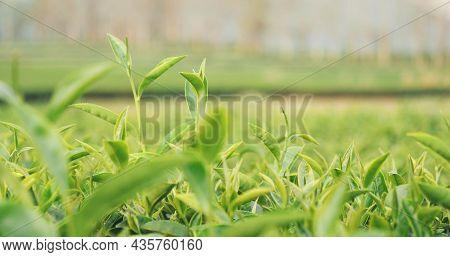 Fresh Green Tea Tree Leaves In Eco Herbal Farm. Tree Tea Plantations In Morning Sun Light. Freshness