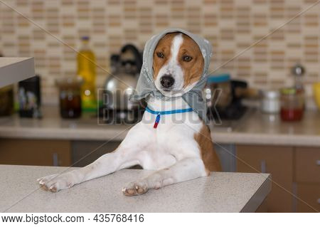 Funny Portrait Of Basenji Female Posing On A Kitchen Wearing Kerchief And Being  Mistress Of The Hou