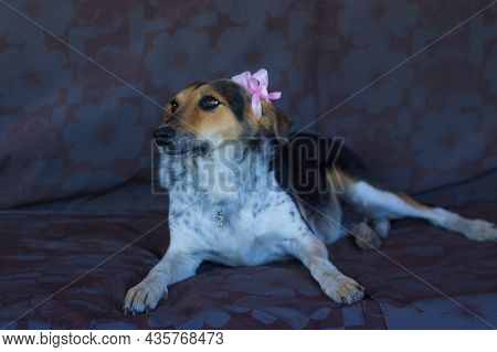 Nice Portrait Of Mixed Breed Female  Three Colored Dog Wearing Purple Bow On Left Ear While Lying On